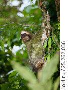 Купить «Pale throated three toed sloth climbing tree (Bradypus tridactylus) note green algae on fur, Costa Rica», фото № 25262036, снято 17 октября 2018 г. (c) Nature Picture Library / Фотобанк Лори
