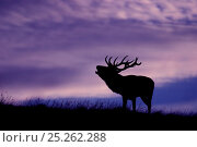 Купить «Red deer (Cervus elaphus) stag roaring at dusk during rutting season, Cheshire, UK October», фото № 25262288, снято 21 января 2018 г. (c) Nature Picture Library / Фотобанк Лори