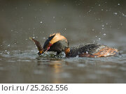 Купить «Horned / Slavonian grebe (Podiceps auritus) catching fish, Iceland, June», фото № 25262556, снято 16 августа 2018 г. (c) Nature Picture Library / Фотобанк Лори