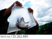 Купить «Yunnan odorous frog (Odorrana andersonii) in plastic bag being held up by conservation scientist, Bawangling National Nature Reserve, Hainan Island, China, March 2009.», фото № 25262880, снято 22 мая 2018 г. (c) Nature Picture Library / Фотобанк Лори