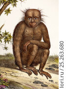 Illustration of Orang utan (Pongo pygmaeus). 1824 contemporary coloured lithograph by Carl Brotdmann of 'Der Orang-Uttang' appearing as table 1 in 'Naturhistorische... Стоковое фото, фотограф Paul D Stewart / Nature Picture Library / Фотобанк Лори