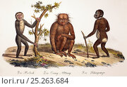 Купить «Illustration of gibbon, orangutan and chimpanzee. 1824 contemporary coloured lithograph by Carl Brotdmann of 'Der Orang-Uttang', 'Der Hooloch' and 'Der...», фото № 25263684, снято 17 ноября 2019 г. (c) Nature Picture Library / Фотобанк Лори