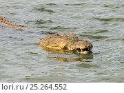 Купить «Saltwater crocodile (Crocodylus porosus) at surface, Queensland, Australia», фото № 25264552, снято 15 октября 2019 г. (c) Nature Picture Library / Фотобанк Лори