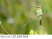 Купить «Rainbow Bee-eater (Merops ornatus) female with prey in beak, Queensland, Australia», фото № 25264564, снято 23 февраля 2020 г. (c) Nature Picture Library / Фотобанк Лори