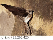 Купить «Sand martin (Riparia riparia) on wall, Hungary, June», фото № 25265420, снято 5 июня 2020 г. (c) Nature Picture Library / Фотобанк Лори