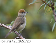 Купить «Blackcap (Sylvia atricapilla) female perched, Helsinki, Finland, October», фото № 25265720, снято 5 июня 2020 г. (c) Nature Picture Library / Фотобанк Лори