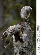 Купить «Ural owl (Strix uralensis) feeding frog prey to one while another watches, Kuusamo, Finland, May», фото № 25265908, снято 17 января 2019 г. (c) Nature Picture Library / Фотобанк Лори