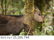 Купить «Himalayan / Gray goral (Naemorhedus goral), captive, Gangtok, Sikkim, India, near threatened», фото № 25266744, снято 21 июля 2018 г. (c) Nature Picture Library / Фотобанк Лори