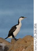 Купить «Black-faced cormorant (Phalacrocorax fuscescens) on rock, Tasmania, Australia, February», фото № 25266856, снято 6 апреля 2020 г. (c) Nature Picture Library / Фотобанк Лори