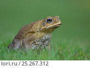 Купить «Cane Toad (Bufo marinus) introduced species, now a national pest, Northern Territory, Australia, December», фото № 25267312, снято 31 марта 2020 г. (c) Nature Picture Library / Фотобанк Лори