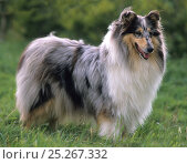 Купить «Domestic dog, Rough coated Collie / Scottish Collie, standing portrait, France», фото № 25267332, снято 16 июля 2018 г. (c) Nature Picture Library / Фотобанк Лори