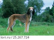 Купить «Domestic dog, Saluki / Arabian Hound / Gazelle Hound / Persian Greyhound, standing portrait on grass, France», фото № 25267724, снято 25 мая 2019 г. (c) Nature Picture Library / Фотобанк Лори