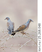 Купить «Two Turtle doves (Streptopelia turtur) on barbed wire fence, Israel, May», фото № 25268048, снято 16 декабря 2017 г. (c) Nature Picture Library / Фотобанк Лори