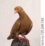 Купить «Domestic Pigeon (Runt).», фото № 25268192, снято 22 февраля 2019 г. (c) Nature Picture Library / Фотобанк Лори