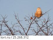 Купить «Snowy owl (Bubo scandiaca) perched on branch, Quebec, Canada, February», фото № 25268312, снято 2 июня 2020 г. (c) Nature Picture Library / Фотобанк Лори