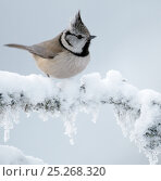 Купить «Crested tit (Lophophanes cristatus) on snow covered branch, Posio, Finland, January», фото № 25268320, снято 5 июня 2020 г. (c) Nature Picture Library / Фотобанк Лори