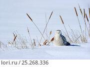 Купить «Snowy owl (Bubo scandiaca) on ground, Quebec, Canada, February», фото № 25268336, снято 2 июня 2020 г. (c) Nature Picture Library / Фотобанк Лори