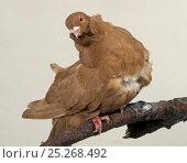 Купить «Domestic Pigeon (Chinese Owl).», фото № 25268492, снято 22 февраля 2019 г. (c) Nature Picture Library / Фотобанк Лори