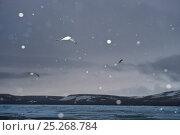 Купить «Black-legged kittiwakes (Rissa tridactyla) in flight during evening snowfall, Northern Nordaustlandet, Svalbard, Norway, August», фото № 25268784, снято 26 марта 2019 г. (c) Nature Picture Library / Фотобанк Лори