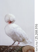 Купить «Padoue White Padovana Hen, cock, studio portrait», фото № 25268916, снято 9 апреля 2020 г. (c) Nature Picture Library / Фотобанк Лори