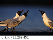 Купить «Three Black-headed gulls (Chroicocephalus ridibundus) looking upwards, Finnmark, Norway, May», фото № 25269452, снято 20 июля 2018 г. (c) Nature Picture Library / Фотобанк Лори
