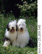Купить «Domestic dog, Old English Sheepdog / Bobtail, two sitting in long grass, France», фото № 25269548, снято 20 августа 2018 г. (c) Nature Picture Library / Фотобанк Лори