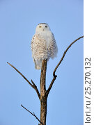 Купить «Snowy owl (Bubo scandiaca) perched on branch, Quebec, Canada, February», фото № 25270132, снято 2 июня 2020 г. (c) Nature Picture Library / Фотобанк Лори