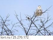 Купить «Snowy owl (Bubo scandiaca) perched on branch, Quebec, Canada, February», фото № 25270172, снято 2 июня 2020 г. (c) Nature Picture Library / Фотобанк Лори