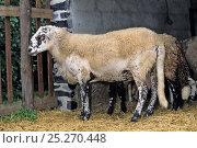 Купить «Domestic sheep (Ovis aries), Rava Sheep, ram in pen, France», фото № 25270448, снято 15 августа 2018 г. (c) Nature Picture Library / Фотобанк Лори