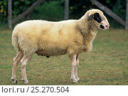 Купить «Domestic sheep (Ovis aries), Caussenard Sheep, ram, France», фото № 25270504, снято 15 августа 2018 г. (c) Nature Picture Library / Фотобанк Лори