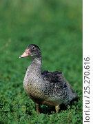 Купить «Barbary / Muscovy Duck female on grass. France, Europe.», фото № 25270616, снято 9 апреля 2020 г. (c) Nature Picture Library / Фотобанк Лори