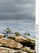 Купить «Bramble (Rubus plicatus) growing along the top of a dry stone wall, Cotswolds, Gloucestershire, UK», фото № 25270912, снято 23 мая 2018 г. (c) Nature Picture Library / Фотобанк Лори