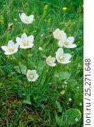 Купить «Grass of parnassus (Parnassia palustris) flowering, Caithness, Scotland, July», фото № 25271648, снято 17 июля 2018 г. (c) Nature Picture Library / Фотобанк Лори