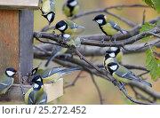 Купить «Great tits (Parus major) around bird feeder, Uto, Finland, October», фото № 25272452, снято 21 января 2019 г. (c) Nature Picture Library / Фотобанк Лори