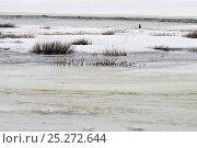 Купить «Willow grouse / ptarmigan (Lagopus lagopus) male standing on ice, Agapa River, Taimyr Peninsula, Siberia, Russia», фото № 25272644, снято 24 октября 2019 г. (c) Nature Picture Library / Фотобанк Лори