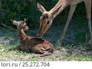 Купить «Impala (Aepyceros melampus) female nuzzling new born calf, Okavango Delta, Botswana», фото № 25272704, снято 20 октября 2019 г. (c) Nature Picture Library / Фотобанк Лори