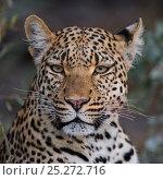 Купить «Leopard portrait (Panthera pardus) Okavango Delta, Botswana», фото № 25272716, снято 12 ноября 2019 г. (c) Nature Picture Library / Фотобанк Лори