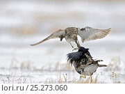 Купить «Ruffs displaying (Philomachus pugnax) Agapa River, Taimyr Peninsula, Siberia, Russia», фото № 25273060, снято 13 октября 2019 г. (c) Nature Picture Library / Фотобанк Лори