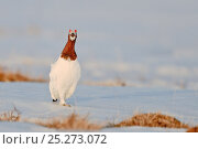 Купить «Willow grouse / ptarmigan (Lagopus lagopus) front view of bird calling, Agapa River, Taimyr Peninsula, Siberia, Russia», фото № 25273072, снято 27 марта 2019 г. (c) Nature Picture Library / Фотобанк Лори