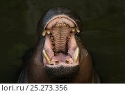 Pygmy hippopotamus (Choeropsis liberiensis) with mouth wide open, captive. Стоковое фото, фотограф Edwin Giesbers / Nature Picture Library / Фотобанк Лори
