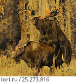 Купить «Moose (Alces alces) pair mating at sunset, Grand Teton National Park, Wyoming, USA, October», фото № 25273816, снято 23 июля 2018 г. (c) Nature Picture Library / Фотобанк Лори