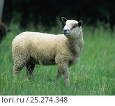 Купить «Domestic sheep (Ovis aries), Avranchin Sheep, lamb, France», фото № 25274348, снято 18 августа 2018 г. (c) Nature Picture Library / Фотобанк Лори