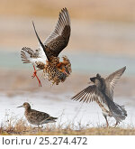 Купить «Ruffs displaying and fighting (Philomachus pugnax) Agapa River, Taimyr Peninsula, Siberia, Russia», фото № 25274472, снято 3 мая 2020 г. (c) Nature Picture Library / Фотобанк Лори