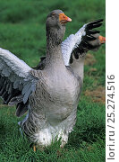 Купить «Domestic goose (Anser anser domesticus) Dewlapped Toulouse male standing on grass with wings out, France.», фото № 25274516, снято 9 апреля 2020 г. (c) Nature Picture Library / Фотобанк Лори