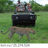 Купить «Leopard (Panthera pardus) walking in front of safari vehicle with tourists watching, Okavango Delta, Botswana», фото № 25274524, снято 17 октября 2018 г. (c) Nature Picture Library / Фотобанк Лори