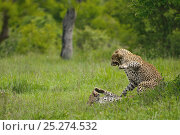 Купить «Leopards (Panthera pardus) male and female sparring after mating, Okavango Delta, Botswana», фото № 25274532, снято 19 августа 2019 г. (c) Nature Picture Library / Фотобанк Лори