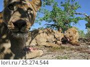 Купить «African lion (Panthera leo) close up view of pride feeding, lioness looking directly into lens, Okavango Delta, Botswana», фото № 25274544, снято 16 декабря 2019 г. (c) Nature Picture Library / Фотобанк Лори