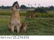 Купить «Lioness calling (Panthera leo) with three young cubs, Okavango Delta, Botswana», фото № 25274616, снято 15 октября 2018 г. (c) Nature Picture Library / Фотобанк Лори