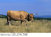 Купить «Domestic cattle (Bos taurus) Aubrac cow with bella around her neck, France», фото № 25274708, снято 28 мая 2018 г. (c) Nature Picture Library / Фотобанк Лори