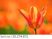 Купить «Tulips (Tulipa), 'Synaeda Orange', cultivated, Schwerin, Germany», фото № 25274872, снято 20 октября 2019 г. (c) Nature Picture Library / Фотобанк Лори
